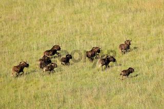 Black wildebeest running