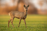 Cute roe deer doe walking on green field in spring nature at sunset.