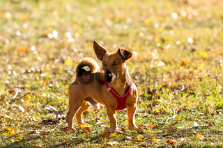 Cute young brown dog on a meadow in autumnal golden sunlight