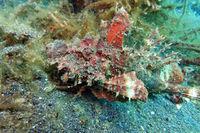 Inimicus didactylus - Steinfisch, Teufelsfisch