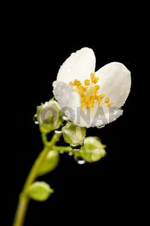 Blossom philadelphus coronarius appeture 8 wet