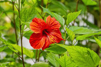 Hibiscus -  flowering plant in the mallow family