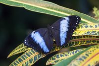 Blue morpho butterfly sitting on a green leaf