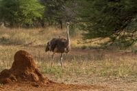 Afrikanische Strauß (Struthio camelus), Namibia