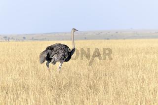 Afrikanischer Strauß in der Masai Mara