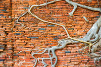 Brick wall and tree roots growing through it as background