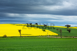 Canola and wheat fields