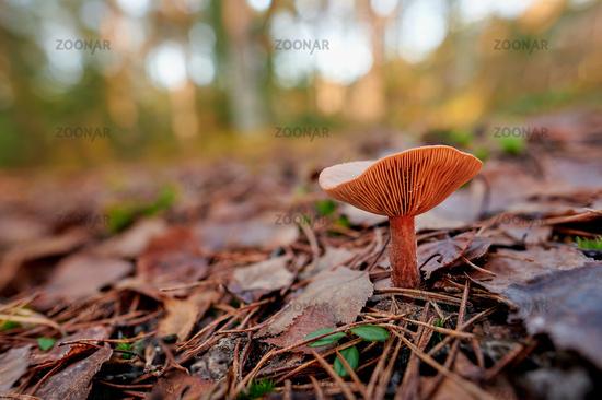 Pilz in der Moosheide Senne