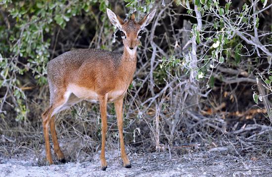 Damara-Dik-Dik, Etosha-Nationalpark, Namibia, (Madoqua damarensis) | Damara Dik-Dik, Etosha National Park, Namibia, (Madoqua damarensis)