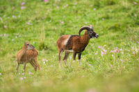 Mouflon ram and ewe looking aside on green meadow with wildflowers in summer