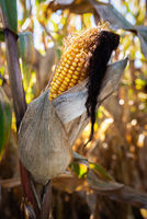 Yellow corn in agricultural field against autumn sun
