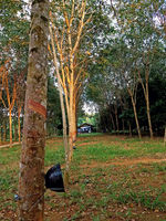 rubber plantation early morning with a plate for collecting milk