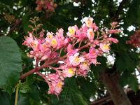 Purpurkastanie oder fleischrote Rosskastanie (Aesculus x carnea) - Bütenstand