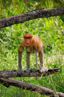 Proboscis monkey sitting on a tree, Borneo, Malaysia