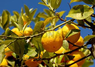 Zitronen, Früchte, gelb