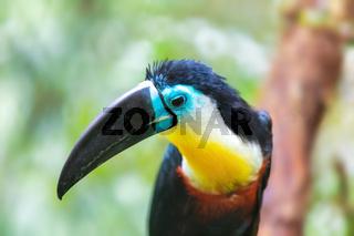 bird hannel-billed toucan, Ramphastos vitellinus