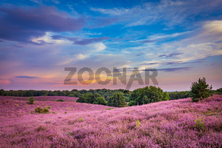 Blooming heather Veluwe Netherlands