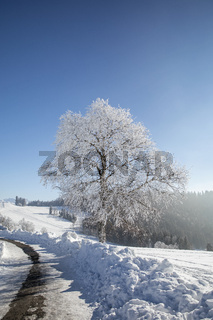 Tree with frost