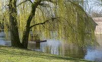 Trauerweide (Salix babylonica) im Frühling