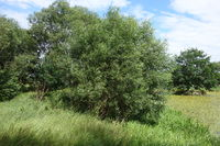 Salix alba, Silberweide, Silver Willow