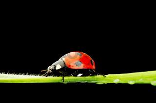 ladybug on grass isolated black background