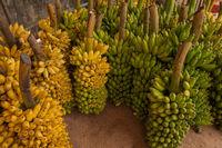 Frische Bananestauden nach der Ernte in Cost Rica