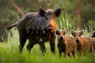 Family of wild boars with young piglets on summer meadow at sunset