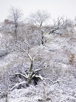 Field with withered trees covered in snow in winter