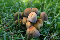 Mushrooms in the grass macro