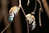 Pair of blue banded bee, Amegilla cinguata, Pune, Maharashtra, India