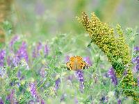 Vetch (Vicia sp.) in meadow