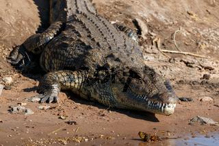 Big scary crocodile resting on riverfront Chobe