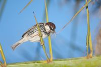 Male Spanish sparrow Passer hispaniolensis with nesting material.