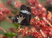 Schwalbenschwanz Schmetterling Papilio nephalus albolineatus, , Borneo, Malaysia