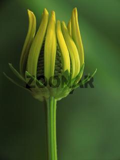 Sonnenhut (rudbeckia nitida)