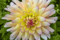 dahlia flower closeup