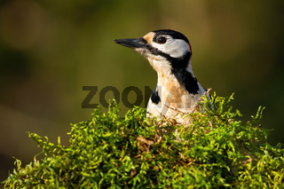 Great spotted woodpecker looking from behind green moss in spring nature