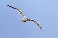 Silbermoewe Flugfoto vom Altvogel im Winterkleid an der Nordseekueste