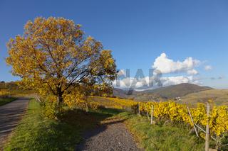 Herbstlandschaft  mit Edelkastanienbaum