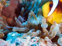 Rotmeer-Anemonenfisch (Amphiprion bicinctus) mit Partnergarnele