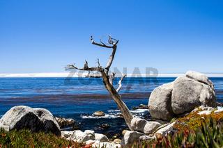 Geisterbaum am Pescadero Point am 17 Mile Drive