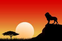 African lion sun sunset nature