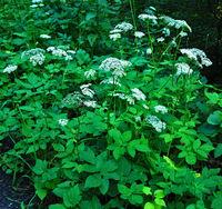 Gewöhnlicher Giersch, Aegopodium podagraria, goutweed;