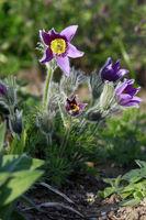 Nahaufnahme von blühenden Pulsatille vulgaris, der europäischen oder gewöhnlichen Küchenschelle