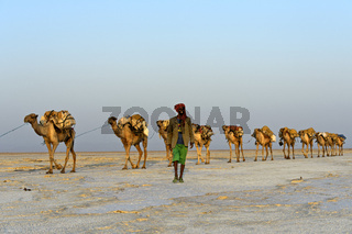 Dromedar-Karawane auf dem Assale Salzsee, Danakil Senke, Afar Region, Äthiopien