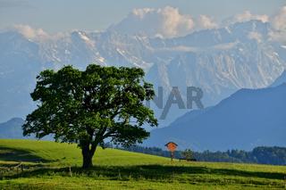 Solitärbaum vor den Alpen - Bayern