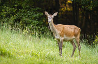 Surprised red deer hind standing on a green meadow and facing camera in summer