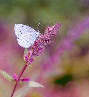 White Lycaenidae butterfyl on a flower blossom