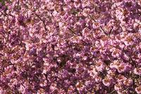 Rosa Kirschblüte am Kirschbaum im Frühling formatfüllend