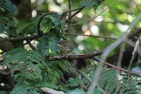 Eurasian wren (Troglodytes troglodytes) chick waiting for food